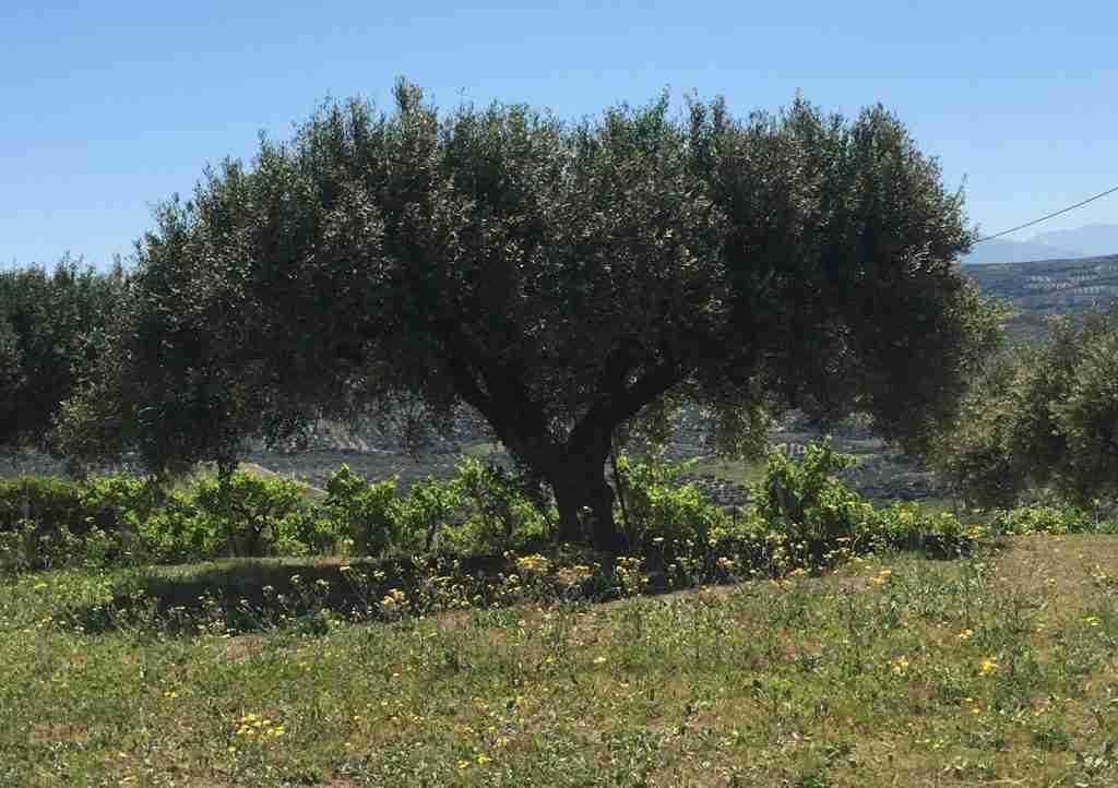 Olive Tree Best Crete Holidays Tours